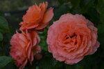 Розы цветут - Страница 2 0_20e3ba_c0d724ea_S