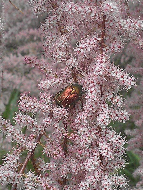 Жук-бронзовка на цветах тамариска