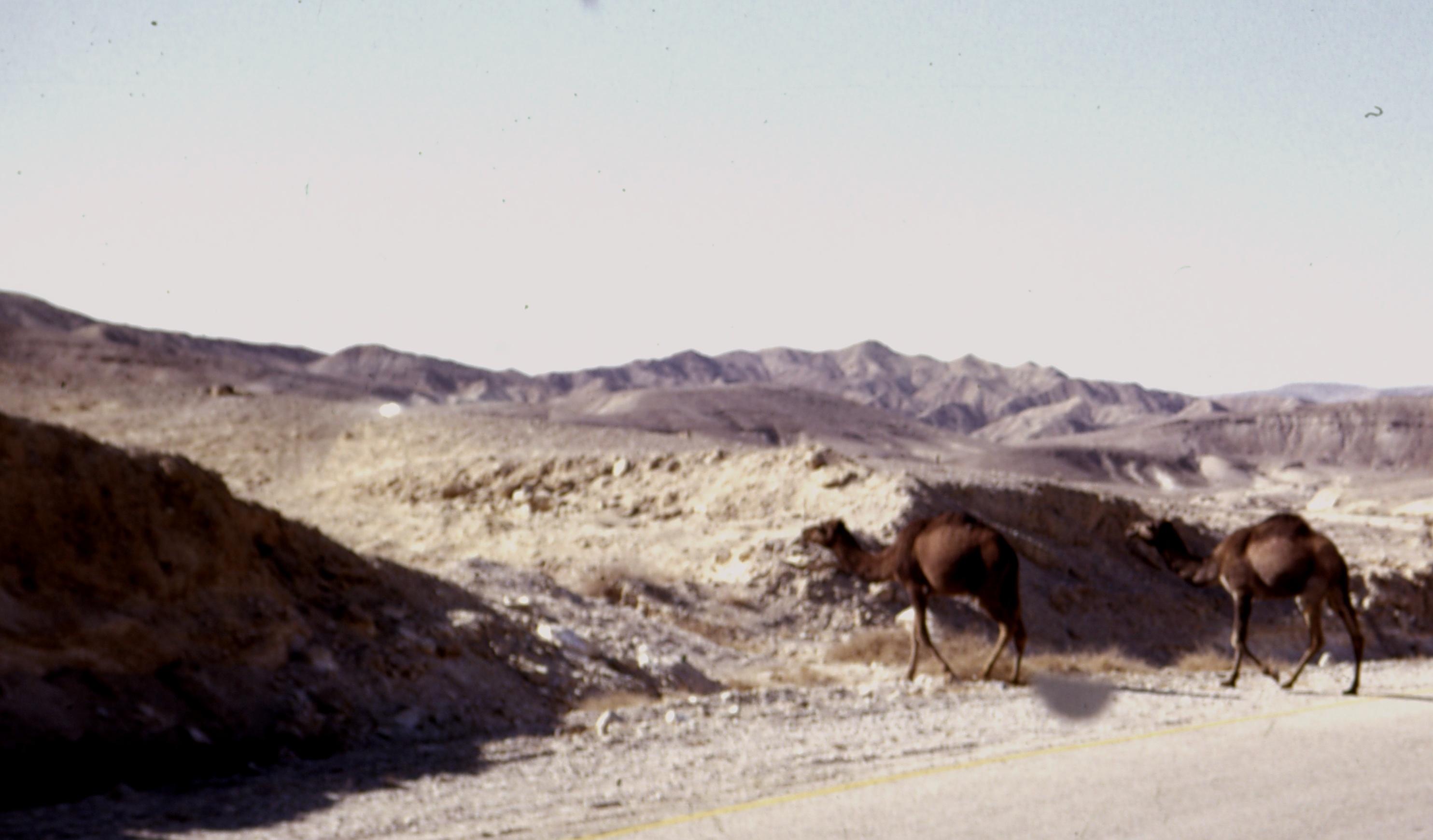 Верблюды по дороге на Хеврон