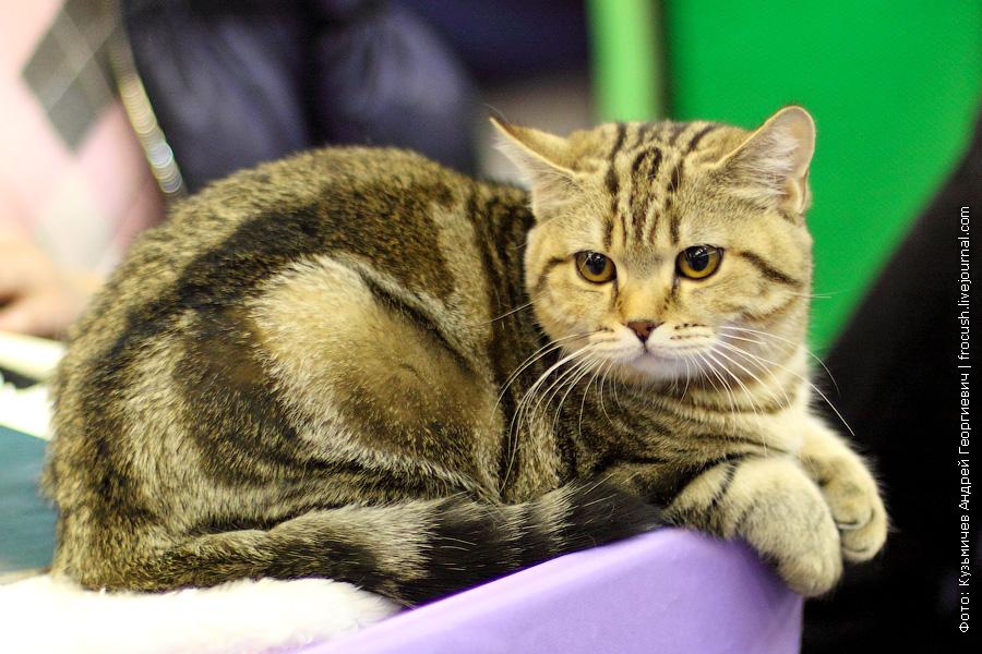 Шотландские прямоухие котята