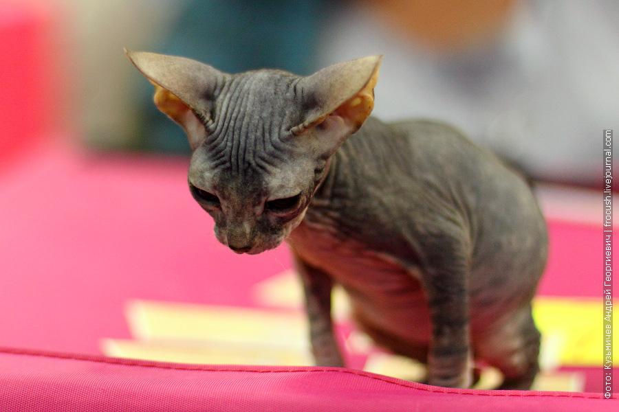 котята сфинкса с шерстью фото
