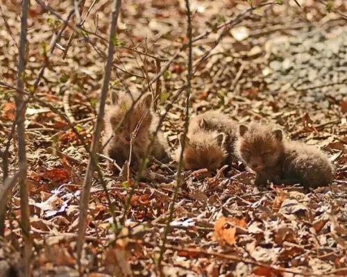 Сюрприз на заднем дворе: маленькие лисята