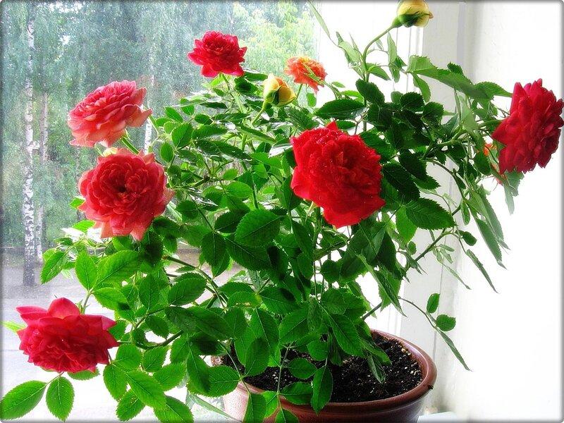 все об уходе за комнатной розой деревом в домашних условиях