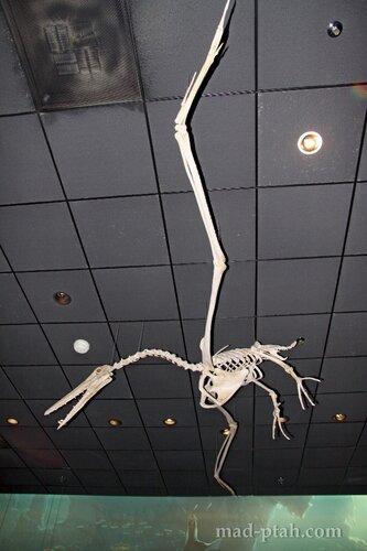 летающий динозавр, музей естественной истории, вашингтон, сша