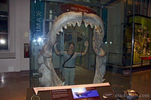 челюсти древней акулы, музей естественной истории, вашингтон, сша