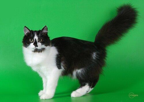 Фото сибирский кот черно-белый