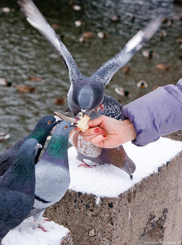 голуби, покормите птиц, фото