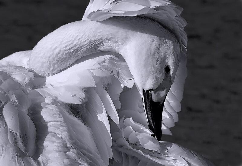 лебедь белый...