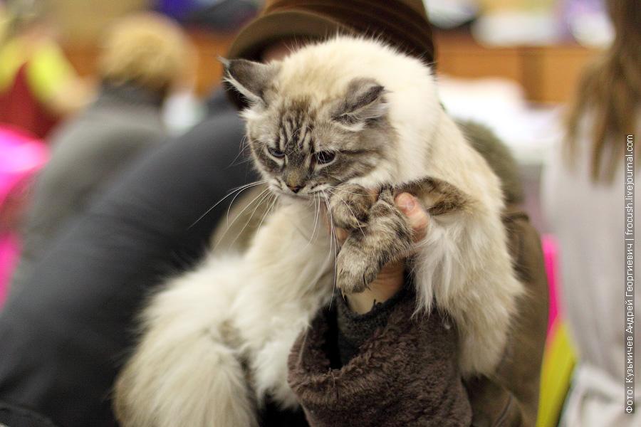 Сибирская. Кошка. Зита Данвел. Дата рождения 10.03.2011