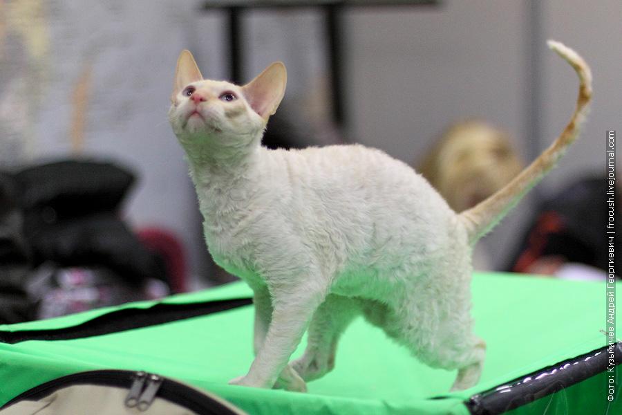 Корниш-Рексы. Котята