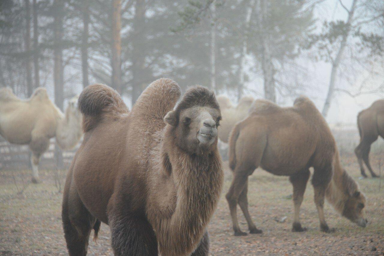 Верблюды в тумане