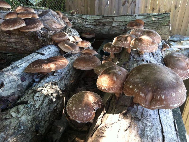 Выращивание грибов шиитаке на бревнах 24