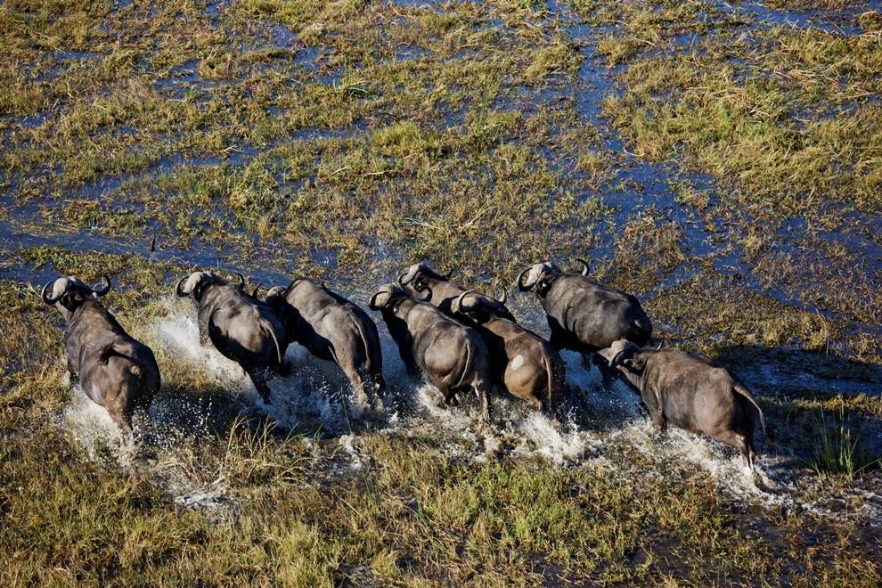 15. Стадо буйволов