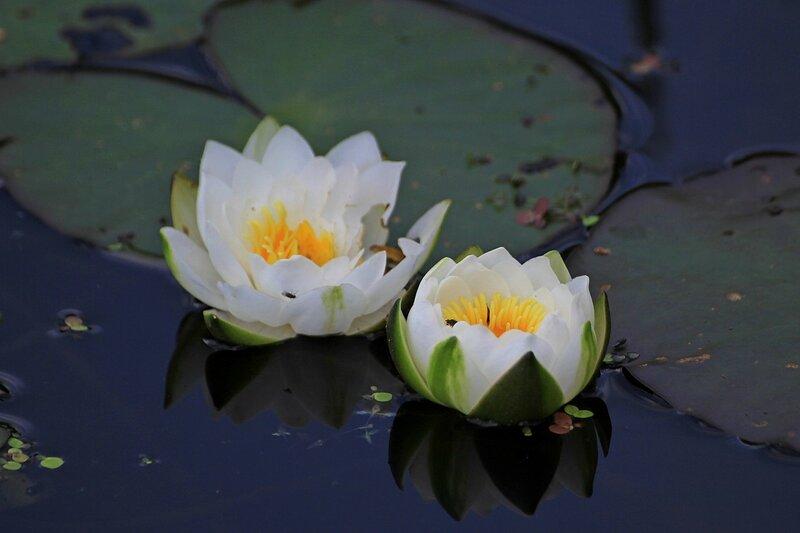 Кушинка чистобелая  (лат. Nymphaea candida) в Чёрном озере (Киров)
