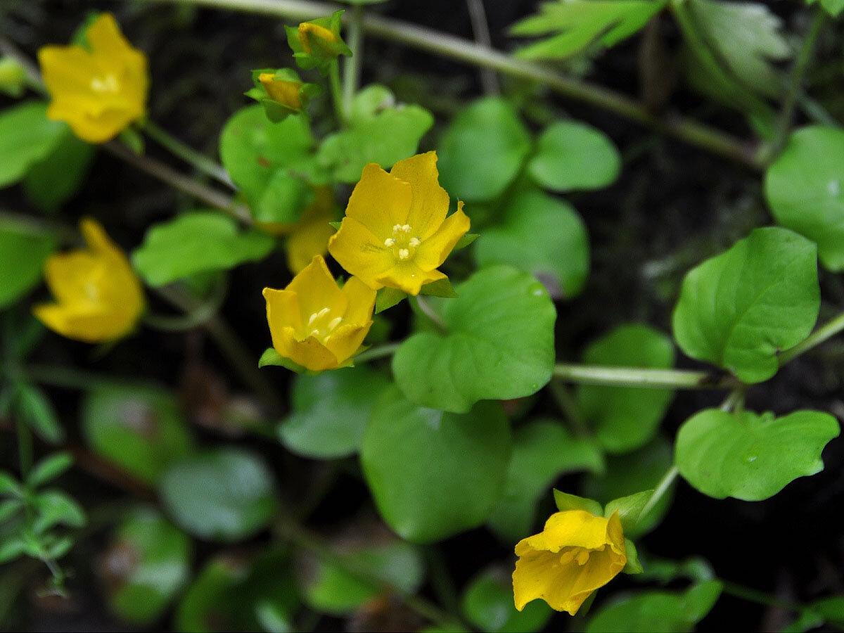 Вербейник монетный (Lysimachia nummularia). Автор фото: Владимир Брюхов