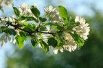 Яблони в цвету....