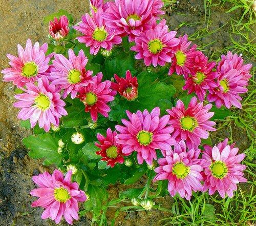 цветы однолетки фото