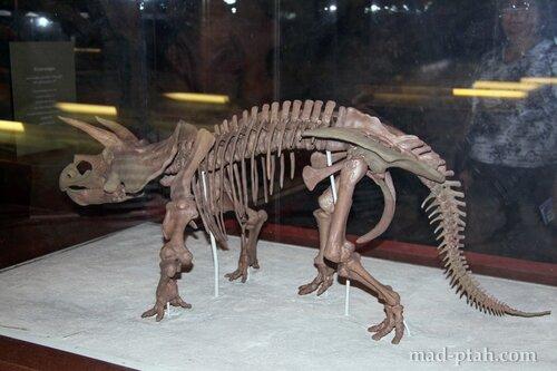 детеныш трицератопса, музей естественной истории, вашингтон, сша