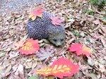 Резиновый Hedgehog