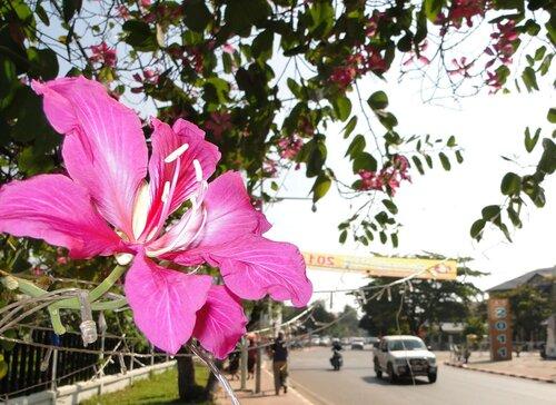 Взгляд на праздничный Вьентьян из-под цветущей баухинии