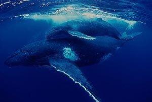 Популяция серых китов у берегов Сахалина может прекратить существование