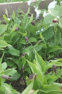 Редкие растения в наших садах - Страница 7 0_16e0ed_83e88f70_M