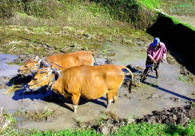 Балийские крестьяне