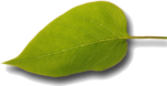 single leaf.png