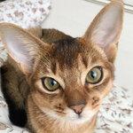Отзывы об абиссинской кошки
