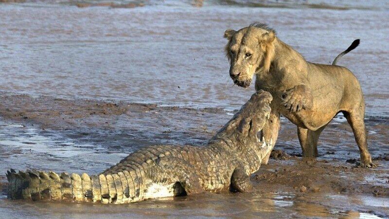 По легенде крокодил льет горькие слезы