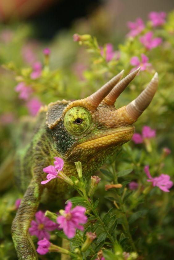Необычный даже среди хамелеонов – Брукезия малая (Brookesia minima) или карликовый листовой ха