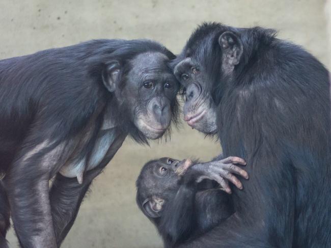 © DORIS META F  Бонобо отличаются очень насыщенным сексуальным поведением. Ноэто немешает им