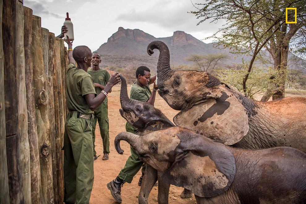 Маленьких слонов в приюте учат быть дикими, чтобы в один прекрасный день они смогли воссоединит