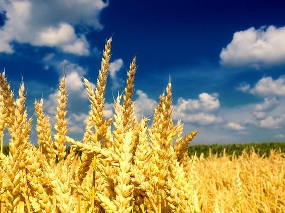 Прогноз поурожаю зерновых вгосударстве Украина изменился