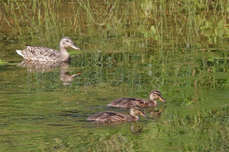 Утка с подросшими утятами, меняющими пух на перо на воде речки Мостовицы