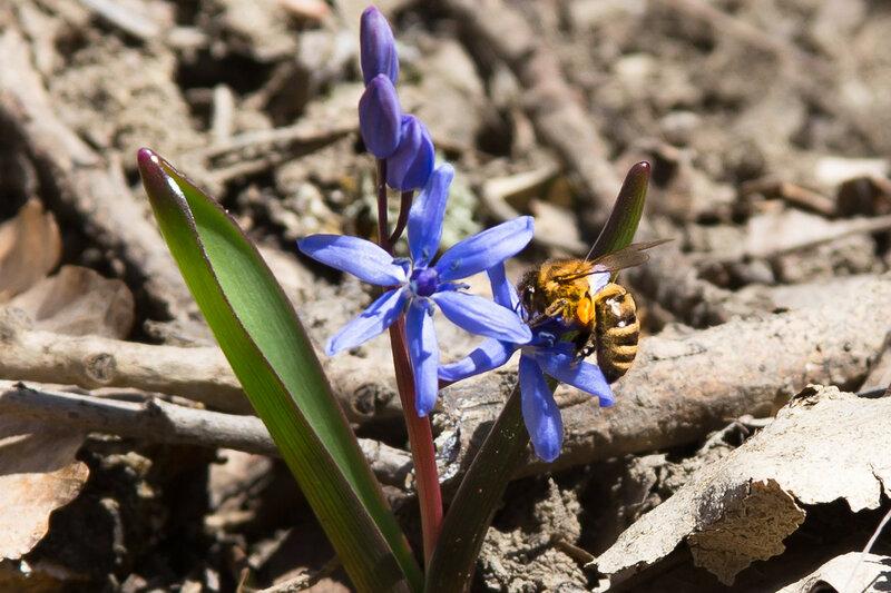 Первая пчела
