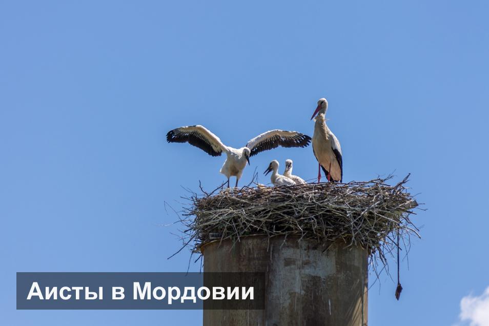 Аисты в Мордовии