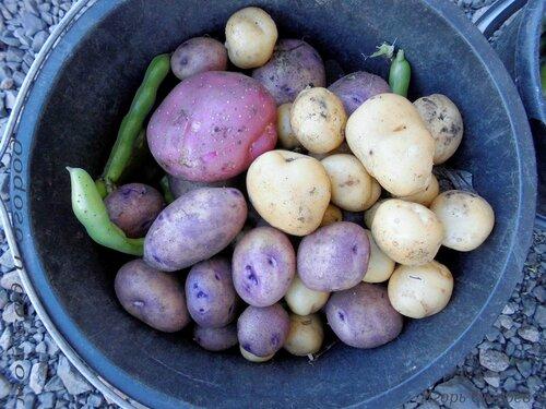 Результаты собственного картофельного семеноводства.