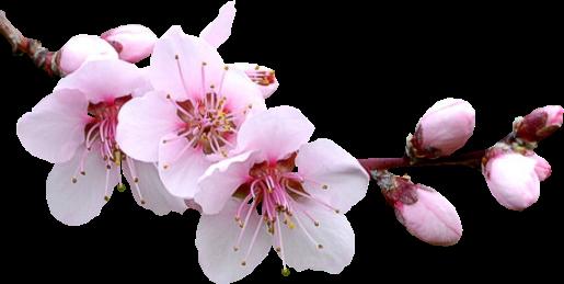Резултат с изображение за клонче пролетен цвят