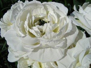 Роза - царица цветов 3 - Страница 5 0_11cfca_c3945366_M