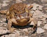 Весенние похождения жаб