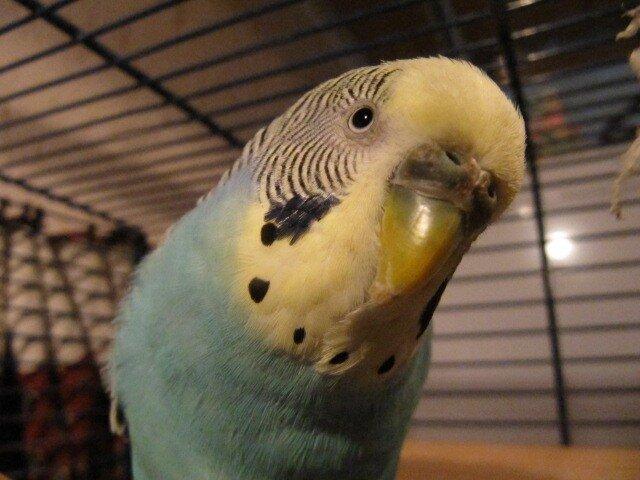 У волнистого попугая потемнела восковица