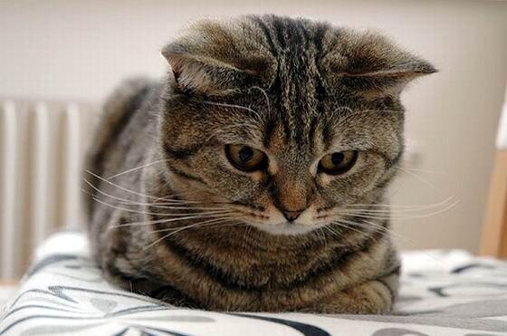 Британская короткошерстная кошка - Породы кошек.