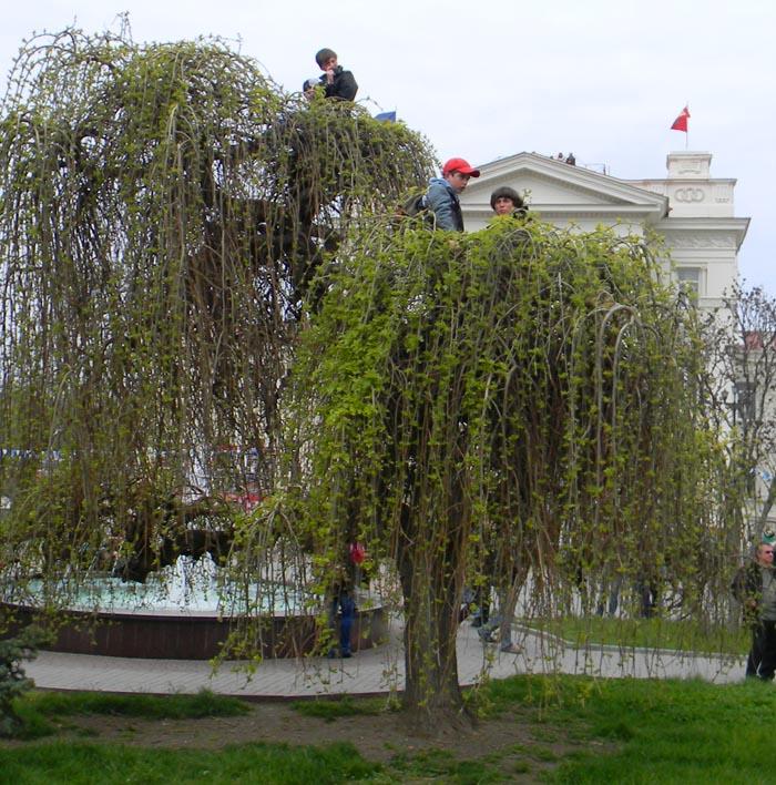 Севастополь, декоративная шелковица в центре города. Дети во время парада в честь Дня Победы 9 мая