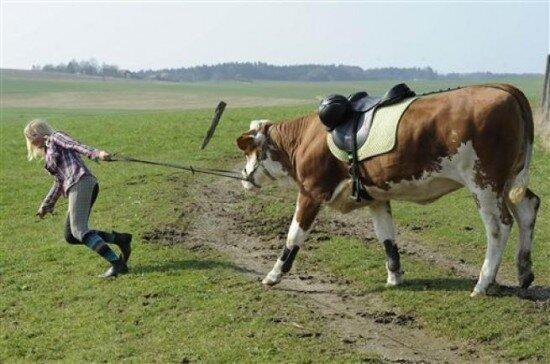 верхом на корове