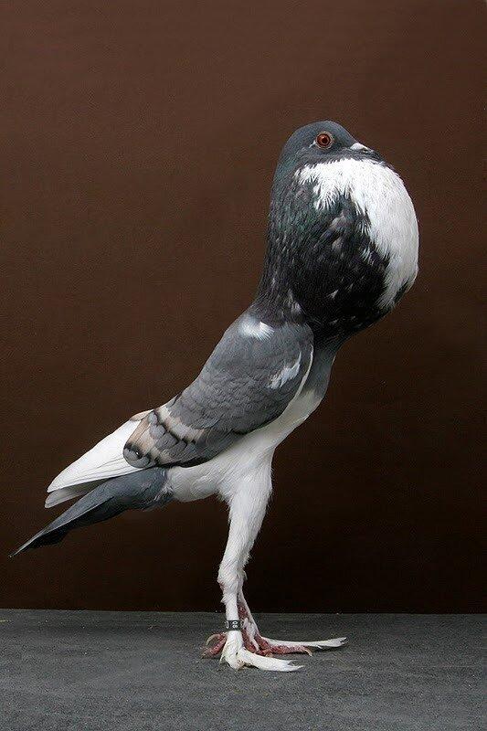 фотографии пород голубей