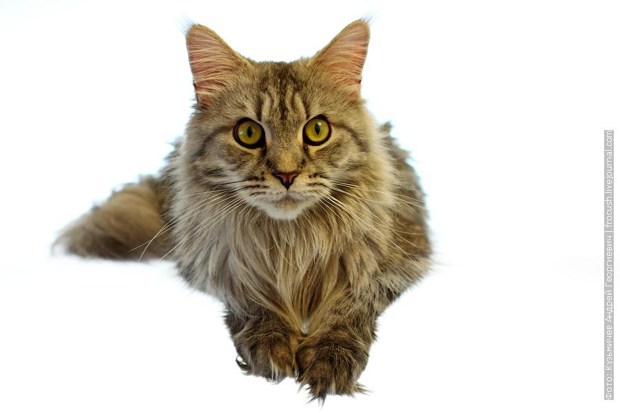кошка Мейн-кун Флора