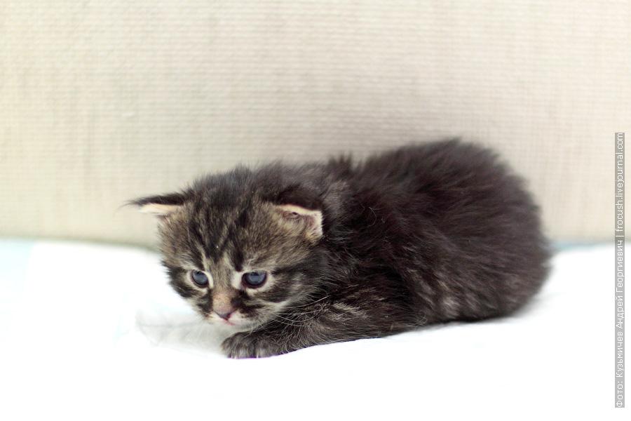 Котенок Мейн-кун девочка Murmurcat Lisa Marie (Лиза). Окрас черный пятнистый (n 24)