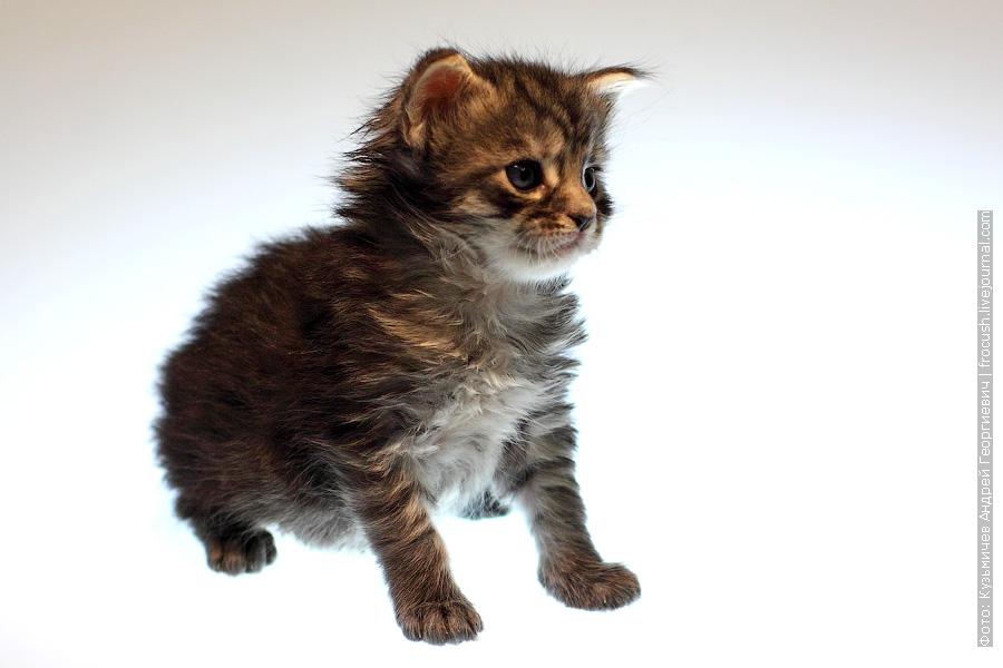 котенок Мейн-кун Мальчик Murmurcat Bartholomew (Барт)