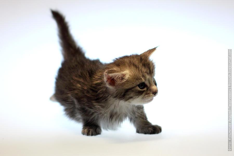 Москва котенок Мейн-кун кошка